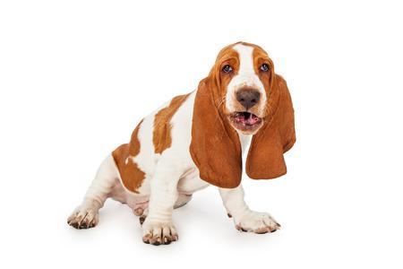 재미 그가 말하는 것처럼 열린 입 바셋 하운드 강아지를 찾고 스톡 콘텐츠