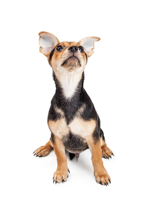 breed: Chihuahua Mixed Breed Three Month Old Puppy sitting while looking up at the sky. Stock Photo