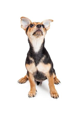perrito: Chihuahua Raza mestiza tres meses de edad cachorro sentado mientras mira hacia el cielo.