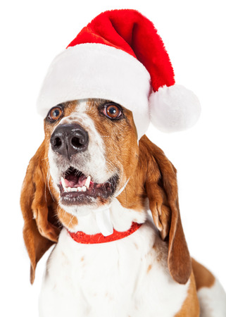 st nick: Close-up photo of a happy and smiling Basset Hound dog wearing a red santa claus hat and collar Stock Photo