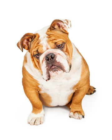 purebreed: A curious loking English Bulldog sitting with a tilted head looking down. Place your product on the floor.