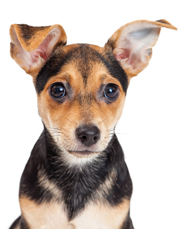 ojos negros: Closeup of Chihuahua Mixed Breed Three Month Old Puppy.  Large ears and black eyes are adorable.