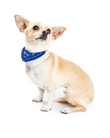 white dog: Small Chihuahua breed dog sitting to the side wearing a blue bandana and looking up Stock Photo