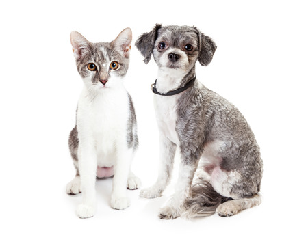 havanese: A cute little Havanese crossbreed dog and grey and white kitten sitting down together