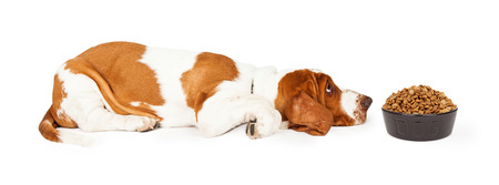 medium body: Funny photo of a Basset Hound Dog laying with head down on the floor looking at a heaping bowl of dry kibble food that he does not like Stock Photo