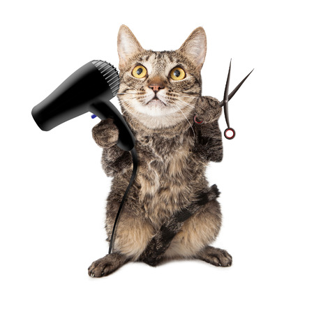 groomer: A cute cat groomer sitting up and holding a hair dryer and cutting shears Stock Photo