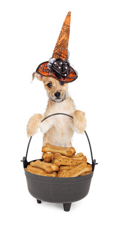 dog treat: Cute puppy wearing a decorative orange witch hat while standing up and holding onto a black cauldron filled with large treats