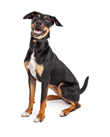 Happy and smiling hound mixed breed dog sitting down and looking forward