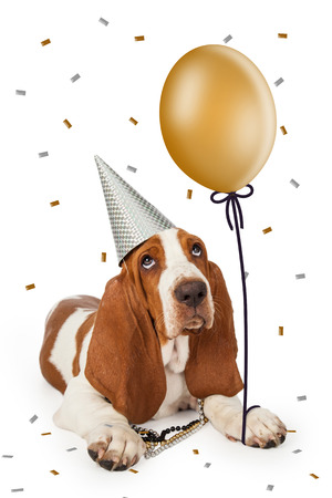 Cute Basset Hound dog wearing a party hat holding a gold color balloon with confetti falling from the sky