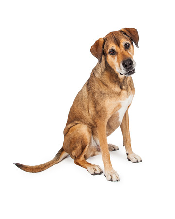 large dog: Funny looking Large Mixed Breed Dog sitting with his mouth partially open. Stock Photo