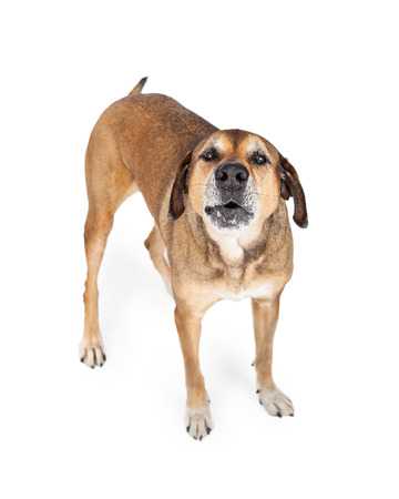 barks: A Large Mixed Breed Dog standing while howling and looking up at the camera.