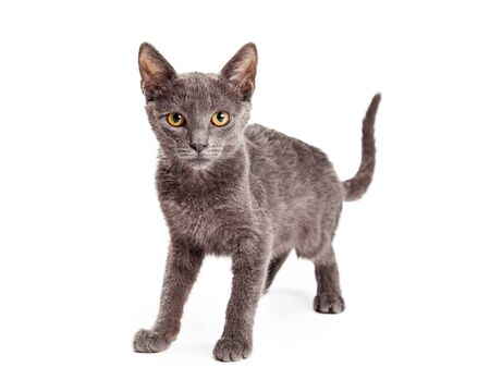four month: Adorable four month old grey color domestic shorthair kitten standing and looking forward into the camera