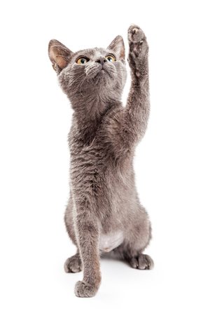 kitten: Cute and playful grey color kitten looking up and raising her paw up to bat at a toy that is out of the frame Stock Photo