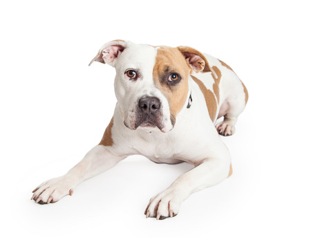 pit: Beautiful tan and white color American Staffordshire Terrier Pit Bull dog laying down and looking into the camera Stock Photo