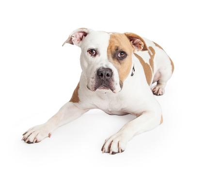 toro: Hermoso bronceado y el color blanco del perro de Staffordshire Terrier americano Pitbull que se establecen y mirando a la cámara Foto de archivo