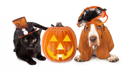 medium shot: Cute black kitten and Basset Hound dog wearing funny and fancy Halloween hats laying with an illuminated jack-o-lantern pumpkin