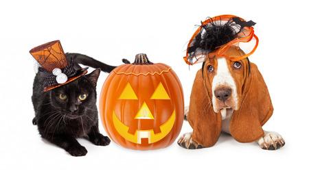 para baixo: Gatinho preto bonito e cão Basset Hound vestindo chapéus engraçados e fantasia de Halloween que colocam com uma abóbora jack-o-lanterna iluminado