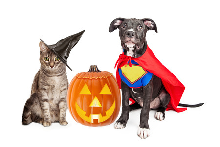 costumes: Cute cat dressed as a witch and dog wearing super hero costume for Halloween with a jack-o-lantern pumpkin Stock Photo