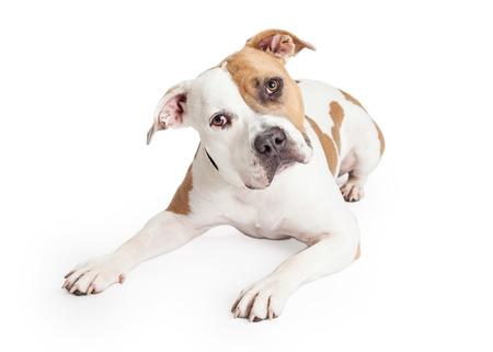 De color marrón y blanco hermoso American Staffordshire Terrier pitbull perro que se establecen y mirando hacia adelante con la cabeza inclinada Foto de archivo - 44380826
