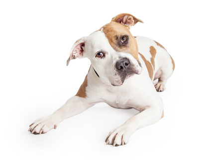 Beautiful tan and white color American Staffordshire Terrier Pit Bull dog laying down and looking forward with head tilted Stockfoto