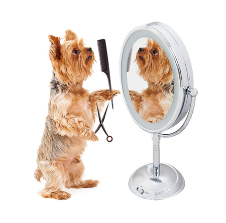 Funny photo of a Yorkshire Terrier dog standing in front of a mirror holding a pair of scissors and a comb to groom himself