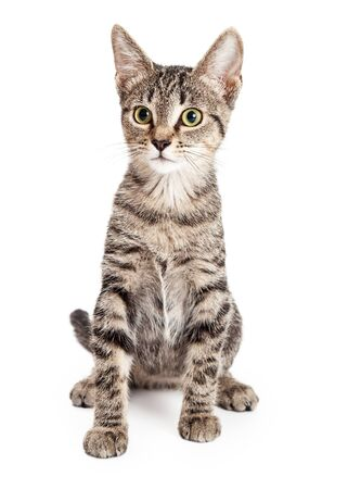 sitting up: Adorable young kitten sitting up tall and looking forward