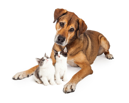 large: Large mixed breed dog laying down with two cute little kittens that are looking up at him