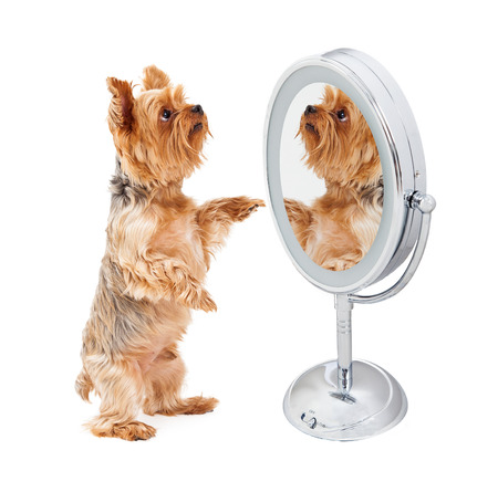 full length mirror: Cute Yorkshire Terrier dog standing up and looking at himself in a mirror Stock Photo