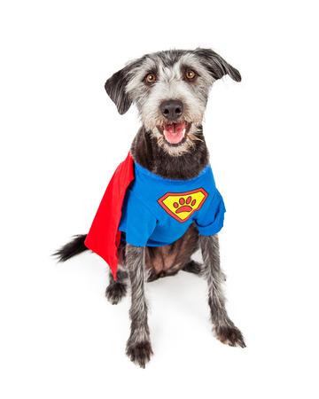 슈퍼 영웅 의상을 입고 귀여운 행복 테리어 잡종 개