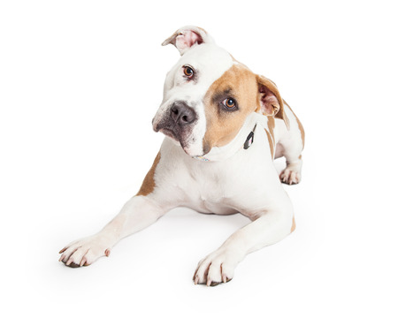 bull dog: Beautiful tan and white color American Staffordshire Terrier Pit Bull dog laying down and tilting head while looking into the camera