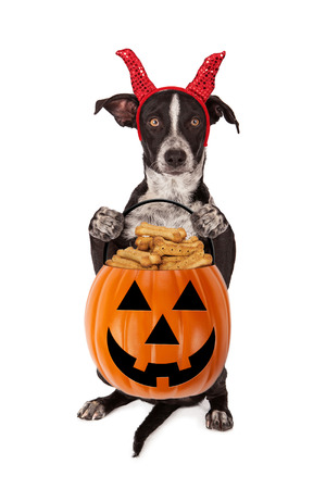 Cute crossbreed puppy wearing a devil Halloween costume while sitting up and holding a pumpkin shaped pail filled with dog treats