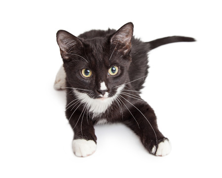laying forward: Cute little black and white kitten laying down on a white background and looking forward