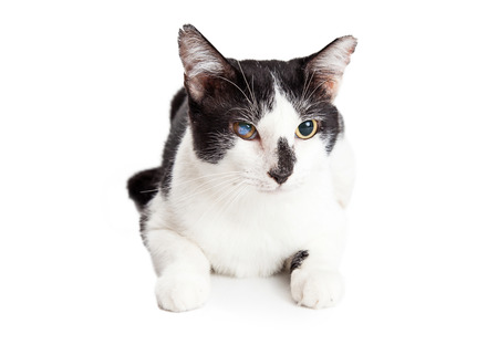White and black cat with one blind eye