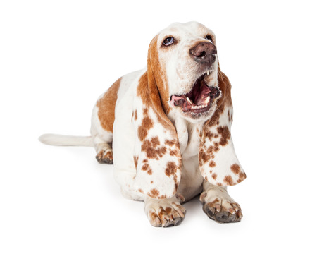 mouth  open: Funny photo of a Basset Hound Dog laying with mouth open in a yawn