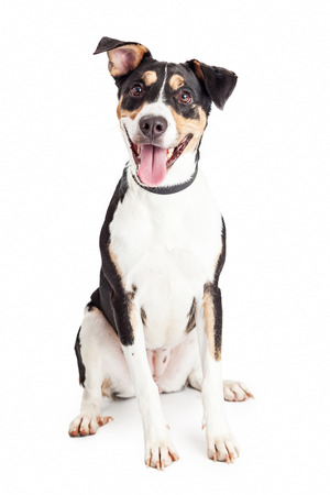 Cute and happy mixed breed medium size family dog sitting and looking forward into the camera with mouth open and tongue out Stock Photo