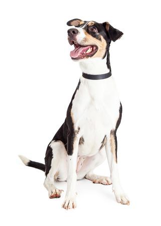 귀 엽 고 행복 한 젊은 crossbreed 개가 입을 열고 앉아 측면을 찾고