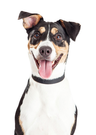 sonrisa: Disparo en la cabeza de un perro de raza mixta de tamaño medio lindo y feliz con la boca abierta y la lengua fuera