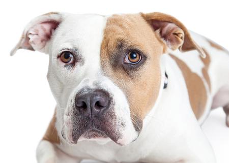 toro: Primer plano de un hermoso color marr�n y blanco del perro de Staffordshire Terrier americano Pitbull
