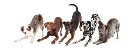 Cinq chiens ludiques et obéissants faisant un arc vers le bas truc animal Banque d'images - 45138607