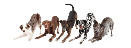 medium shot: Five playful and obedient dogs doing an bow down animal trick Stock Photo