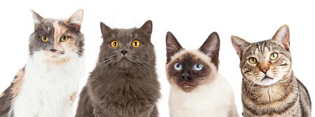 cat: Close-up image of four different breed cats looking forward at the camera