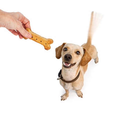 A happy young Dachshund and Chihuahua cross-breed puppy dog with motion blur from a wagging tail looking up at a human hand holding a biscuit treat Stock Photo