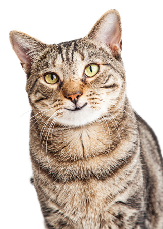 Closeup of a happy and smiling tabby cat looking forward into the camera