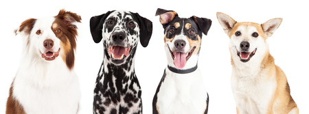 Close-up head shots of four happy and smiling dogs of different breeds