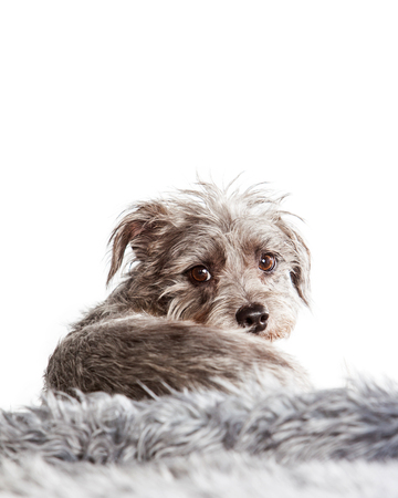 facing away: Cute little terrier crossbreed dog laying on a fur blanket facing away and looking back towards the camera Stock Photo
