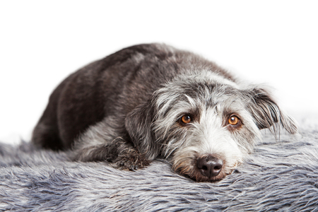 scruffy: Cute medium size scruffy terrier breed dog laying down on a grey color fur rug Stock Photo