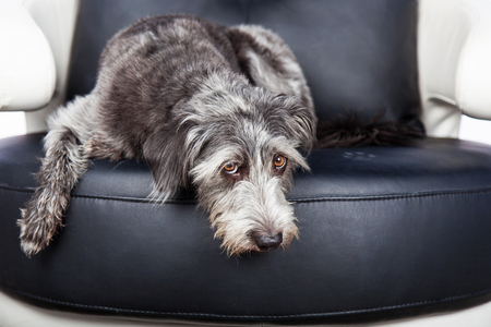 Cute scruffy terrier mixed breed dog laying down on a leather chair with a guilty expression. Pawprints visible on chair. Imagens