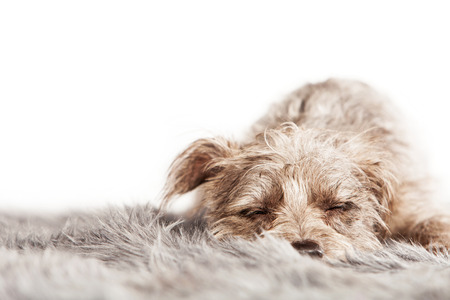 breed: Cute little mixed breed dog laying down on a fur rug with eyes closed and sleeping