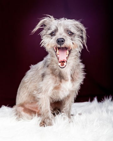 Cute little terrier dog sitting on a white fur rug with a purple color background while yawning with mouth wide open