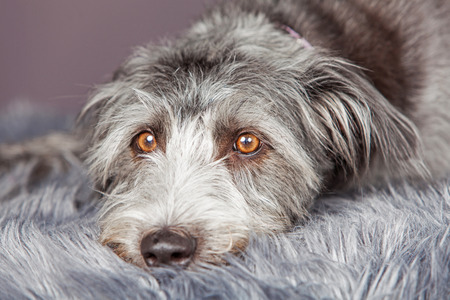 breed: Bored large terrier breed dog laying down on a grey color fur rug